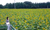 blog_himawari_S1.jpg