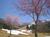 hakkai-sakura.jpg