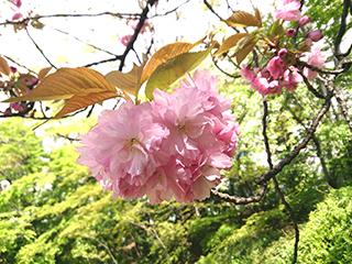 katsura_sakura.jpg
